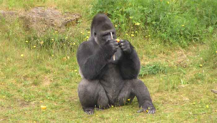 Apelheul Gorilla